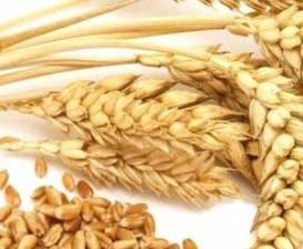 Buğday Ruşeym Yağı